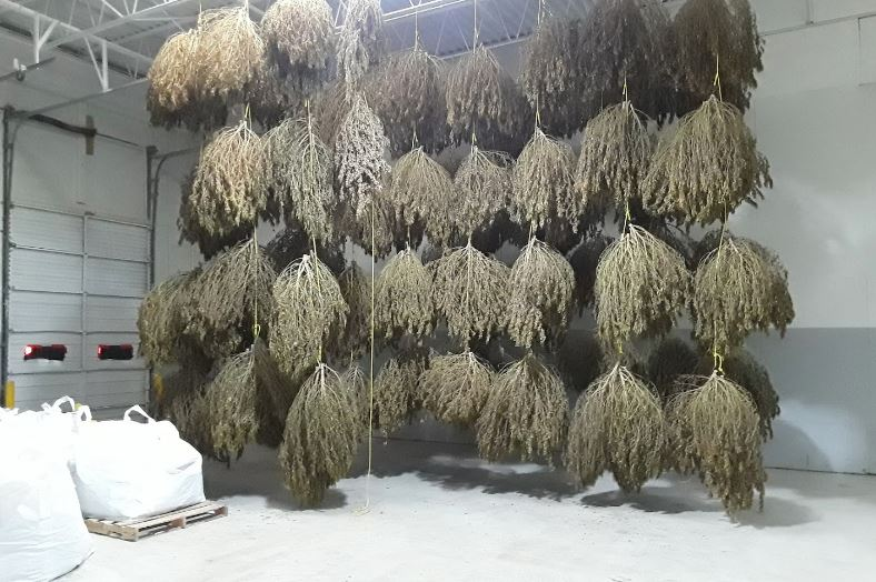 Drying CBD Hemp