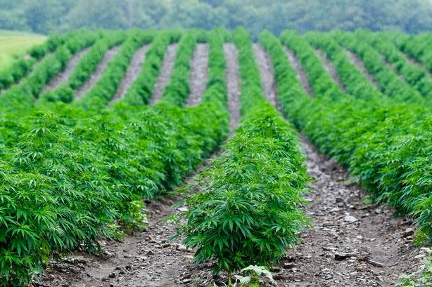 CBD Hemp Field