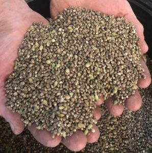 Feminized Hemp Seeds